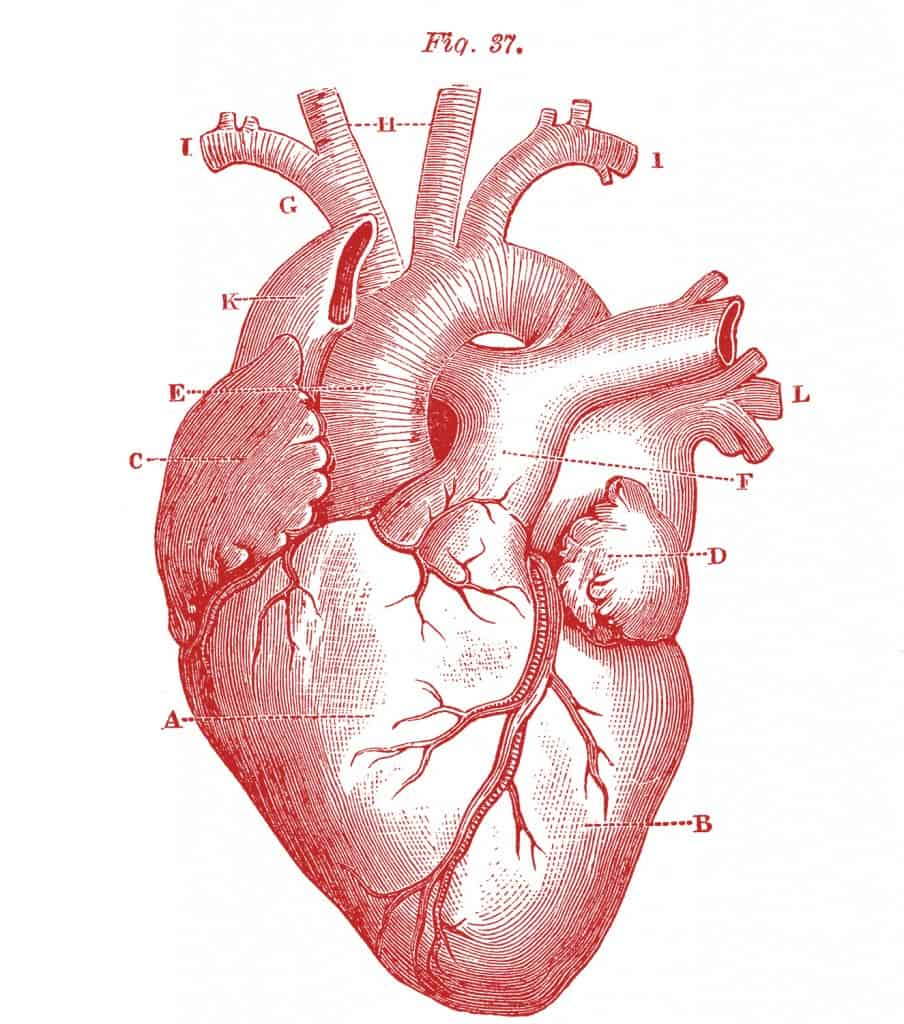 Royalty-Free-Images-Anatomy-Heart-GraphicsFairy-red1-904x1024 ...
